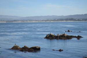 seals at the Bay
