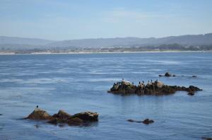 seals at the Bay