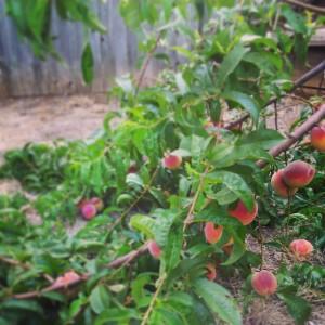 fallen peach tree