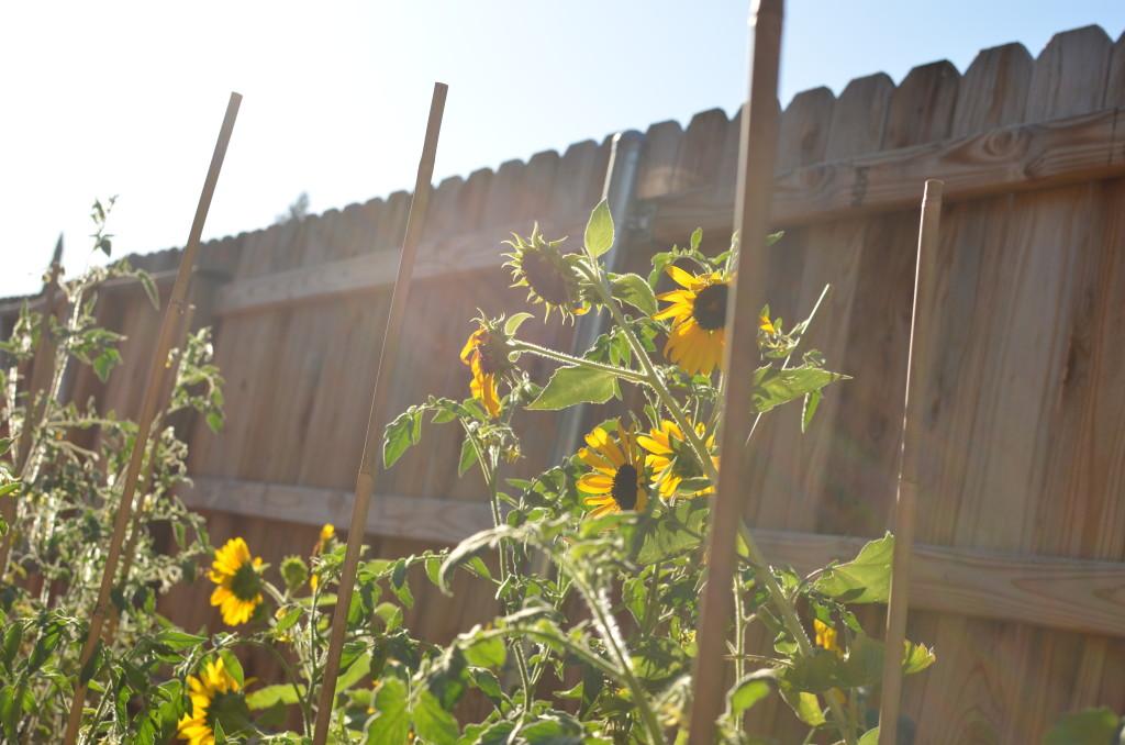 sunflowers - Sept 2015
