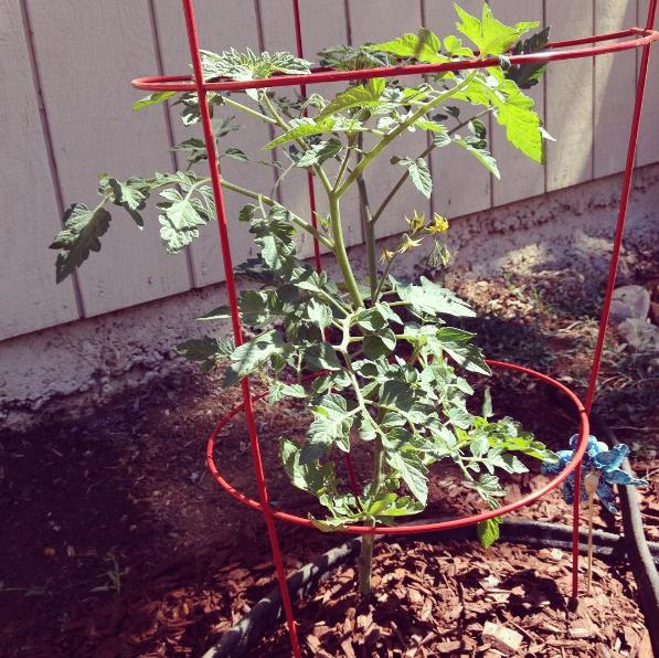 Rapunzel tomato plant