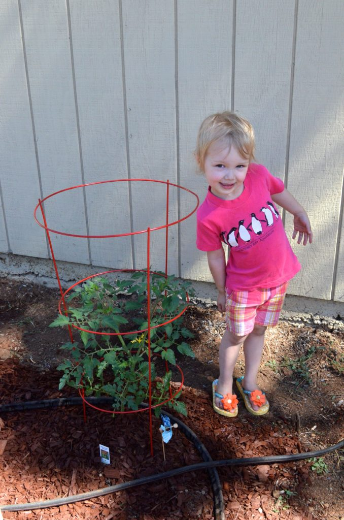 Evey's tomato plant - May 2016