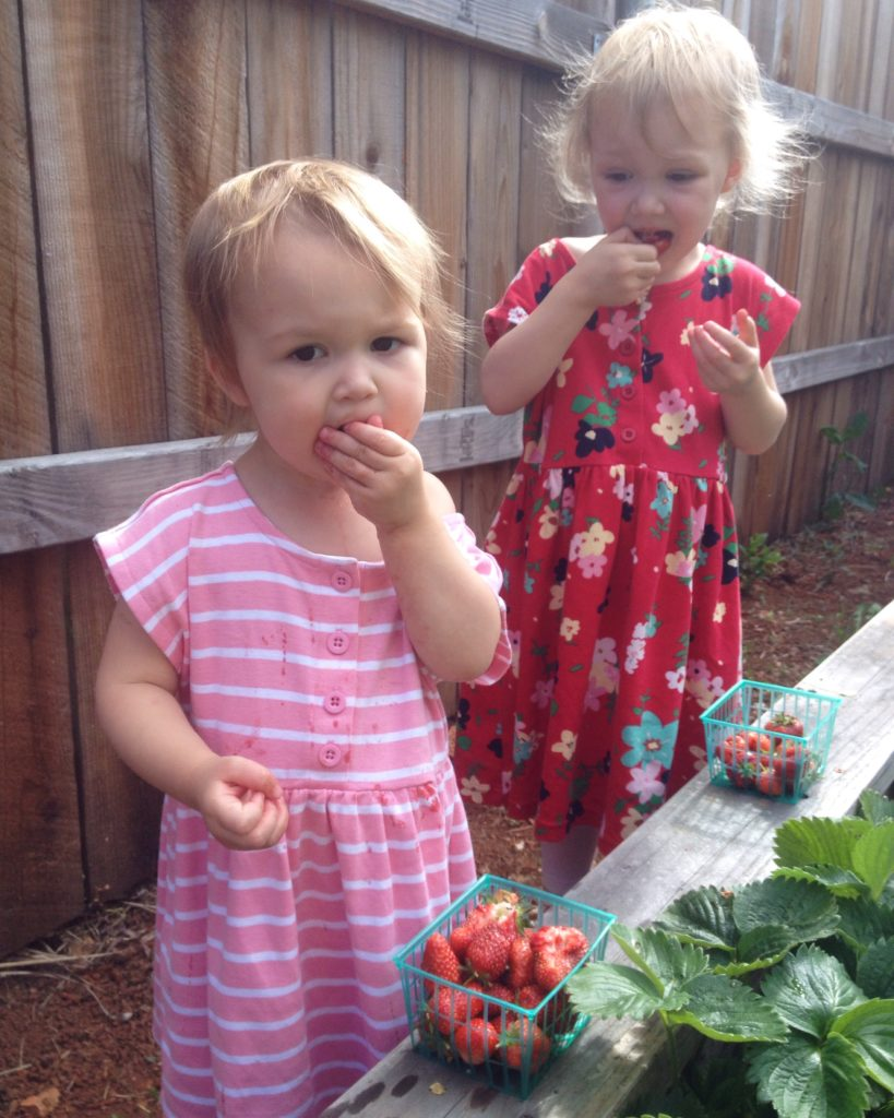 eating strawberries from the patch - May 2016